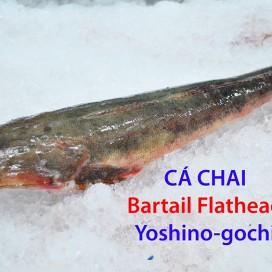 Cá Chai