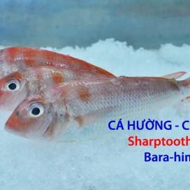 Cá Đổng Cú - Cá Hường