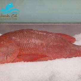 Cá Hồng Phèn (con 11kg)