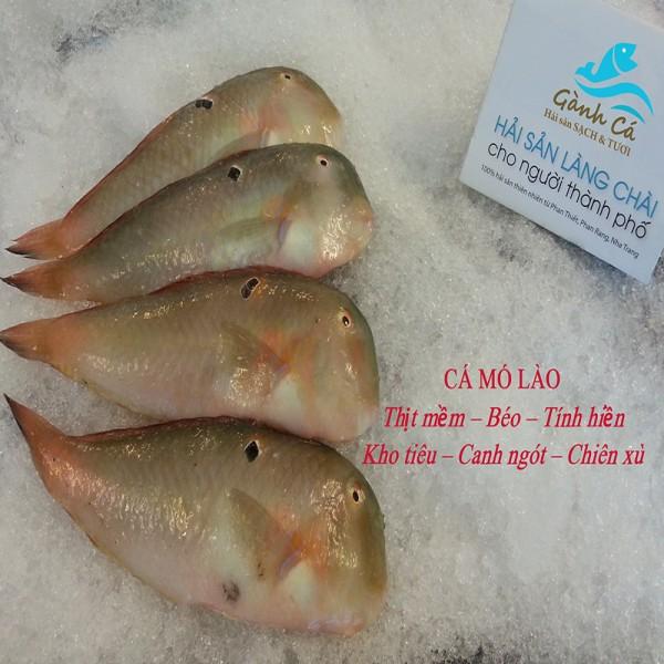 Cá Mó Lào