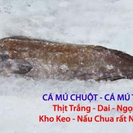 Cá Mú Trê - Mú Chuột